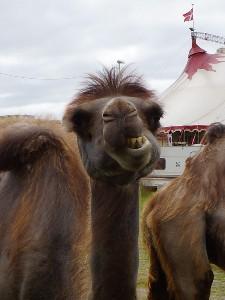 pukler på en kamel