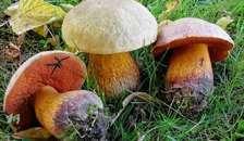 Ny gratis svampeapp: Nu kan du artsbestemme svampe med din mobil