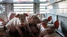 Danske vognmænd bryder reglerne for dyretransporter