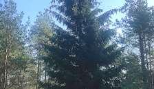Store flotte juletræer på vej til Randers