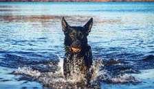 Politiet træner hunde til eftersøgninger i vand
