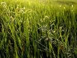 Fritvoksende græsrabatter er dårligt nyt for allergikere