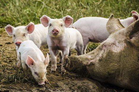 Kære regering: Her er jeres tjekliste om dyrevelfærd og klima