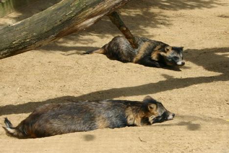 5-6000 mårhunde lever i Jylland