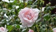 Kom til rosenfestival i Plantorama i Randers
