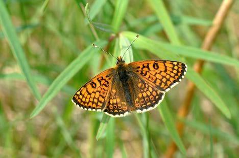 Oplev sjældne sommerfugle og hør om naturpleje i Volk Mølle Bakker